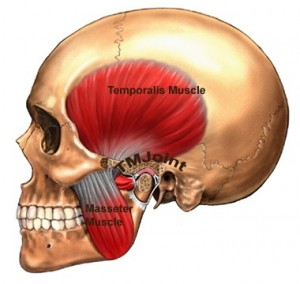 jaw-muscle